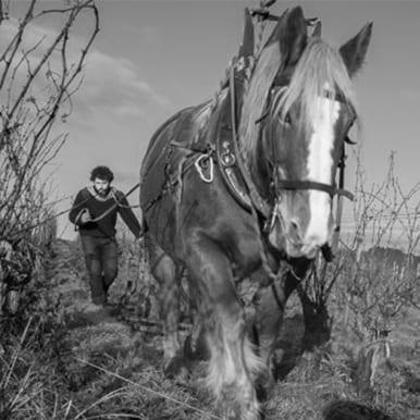 Domaine de la Petite soeur, travail à cheval dans la vigne